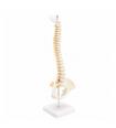 Colonne vertébrale articulée